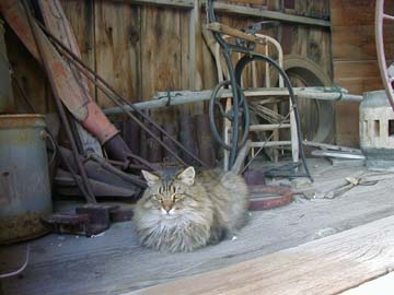 Ranger's cat at blacksmith shop in ghost town Bodie, CA