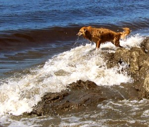 Dog trying to catch a river wave